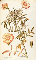 Herbal, 18th-19th century. Iconographia Taurinensis. Volume VIII, Table 85 by Francesco Peyrolery, Asteraceae or Compositae, Mexican marigold (Tagetes...