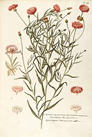 Herbal, 18th-19th century. Iconographia Taurinensis. Volume XIII, Table 77 by Francesco Peyrolery: Asteraceae or Compositae, 1) Cornflower (Centaurea ...