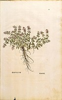 Breckland or Wild Thyme Thymus serpyllum, coloured engraving by Leonhart Fuchs, 1542