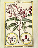 Herbal, 18th century. Florindie ou Historie physico-economique des vegetaux de la Torride, 1789. Plate: Clove (Caryophyllus Aromaticus). Watercolor by...