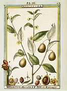 Herbal, 18th century. Florindie ou Historie physico-economique des vegetaux de la Torride, 1789. Plate: Nutmeg (Myristica fragrans or officinalis). Wa...