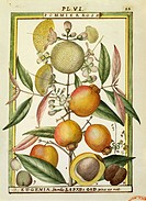 Herbal, 18th century. Florindie ou Historie physico-economique des vegetaux de la Torride, 1789. Plate: Malabar Plum or Rose apple (Eugenia Jambos or ...