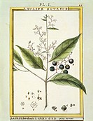 Herbal, 18th century. Florindie ou Historie physico-economique des vegetaux de la Torride, 1789. Plate: Red Bay (Laurus borbonia or Persea carolinensi...