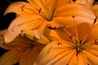 beautiful flowers lily. close_up