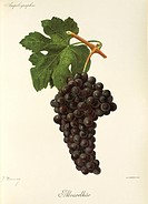 Alvarelhao grape, illustration by J. Troncy