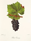 Pierre Viala (1859-1936), Victor Vermorel (1848-1927), Traite General de Viticulture. Ampelographie, 1901-1910. Tome III, plate: Petit Gamay grape. Il...