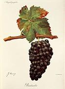 Pierre Viala (1859-1936), Victor Vermorel (1848-1927), Traite General de Viticulture. Ampelographie, 1901-1910. Tome IV, plate: Bastardo grape. Illust...