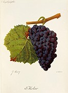 Pierre Viala (1859-1936), Victor Vermorel (1848-1927), Traite General de Viticulture. Ampelographie, 1901-1910. Tome V, plate: Molar grape. Illustrati...