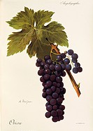 Pierre Viala (1859-1936), Victor Vermorel (1848-1927), Traite General de Viticulture. Ampelographie, 1901-1910. Tome V, plate: Oriou grape. Illustrati...