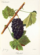 Pierre Viala (1859-1936), Victor Vermorel (1848-1927), Traite General de Viticulture. Ampelographie, 1901-1910. Tome V, plate: Bachet grape. Illustrat...