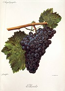 Pierre Viala (1859-1936), Victor Vermorel (1848-1927), Traite General de Viticulture. Ampelographie, 1901-1910. Tome V, plate: Moreto grape. Illustrat...