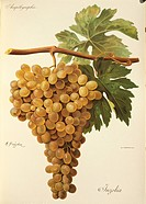 Pierre Viala (1859-1936), Victor Vermorel (1848-1927), Traite General de Viticulture. Ampelographie, 1901-1910. Tome V, plate: Aspiran grape. Illustra...