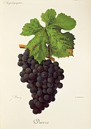 Pierre Viala (1859-1936), Victor Vermorel (1848-1927), Traite General de Viticulture. Ampelographie, 1901-1910. Tome VI, plate: Dureza grape. Illustra...