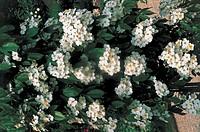 Botany - Rosaceae - Henry I rose.