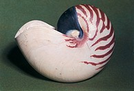 Shell of Nautilus Pompilius