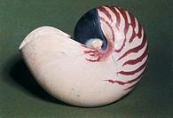 Zoology - Shells - Molluscs - Nautilus pompilius