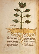 Manuscript, Italy, 15th century. Herbal from Trento. Plate: Herba luca. Herb used for fever and edema treatment. Manuscript 1591, folio 23, verso. Her...