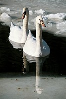 Two Mute Swans Cygnus olor on partially frozen lake