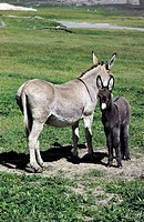 Ungulates: EQUINE ASS WITH SMALL