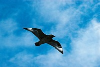Zoology - Birds - Charadriiformes - Arctic Skua or Parasitic Jaeger (Stercorarius parasiticus) in flight