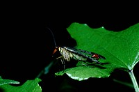 Common scorpion fly Panorpa communis on leaf