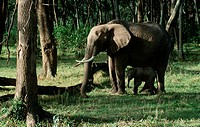 Zoology - Mammals - Proboscidea - African elephant (Loxodonta africana) and offspring.
