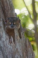 Hubbard's Sportive Lemur Lepilemur hubbardorum in tree cavity, described in 2006, Zombitse National Park, Madagascar