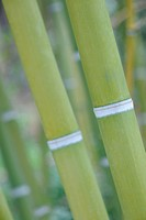 Bamboo. Plants with a harmonous, high stalk,