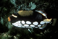Zoology - Fishes - Tetraodontiformes - Clown triggerfish (Balistoides conspicillum).