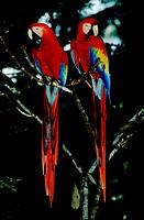 Zoology - Birds - Psittaciformes - Scarlet macaw (Ara macao).