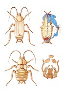 Zoology - Insects - Cockroaches - Periplaneta, cross section illustration.