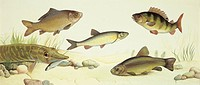 Zoology - Fishes - Examples of sweet water fishes, illustration