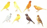 Zoology - Birds - Passeriformes - Canaries (Serinus canaria): Colorbred Canaries, colour mutations, illustration