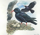 Red-billed Chough (Pyrrhocorax pyrrhocorax) in the nest with eggs, illustration.