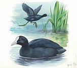 Eurasian Coot (Fulica atra), illustration.