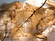 Macro image of an old dried transparent leaf in the sunshine.