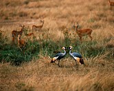Zoology - Birds - Gruiformes - Crowned crane (Balearica pavonina). Democratic Republic of Congo, Virunga National Park.