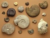 Fossils - Ammonites.