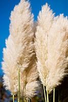 Pampas Grass against blue sky in summer garden