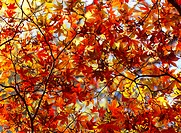 Canopy of acer leaves in autumn, North Yorkshire, Yorkshire, England, United Kingdom, Europe
