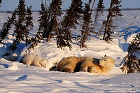 Polar bear sow (Ursus maritimus) with cubs enjoying the evening sun, lying behind a row of trees sheltered from the wind, Wapusk National Park, Manito...