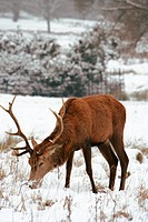Deer in the snow Covered Richmond Park. Richmond Park is the largest park of the royal parks in London and almost three times bigger than New York´s C...