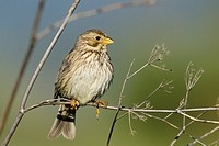 Corn Bunting - Miliaria calandra, Lesbos, Greece