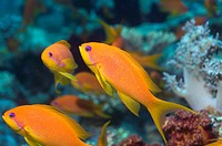Lyretail anthias Pseudanthias squamipinnis females  Egypt, Red Sea