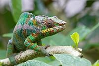 Panther Chameleon Furcifer pardalis sitting on branch, Madagascar