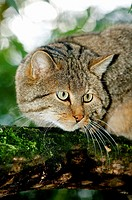 European Wildcat, felis silvestris, Adult standing on Branch