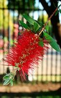Stiff Bottlebrush, Callistemon rigidus, Myrtaceae