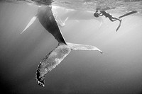 Humpback Whale and Photographer, Megaptera novaeangliae, Silver Bank, Atlantic Ocean, Dominican Republic                                              ...