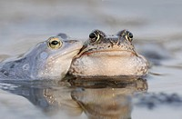 Moor Frog Rana arvalis, left, and Common Frog Rana temporaria, Middle Elbe Biosphere Reserve near Dessau, Saxony_Anhalt, Germany, Europe