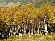 Birches in the Alto de Riofrio. Cantabria. Spain. Europe.
